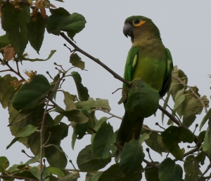 Brown-throated Parakeet