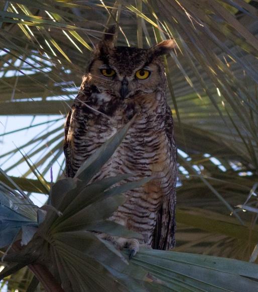 Roosting Great Horned Owl, Cataviña