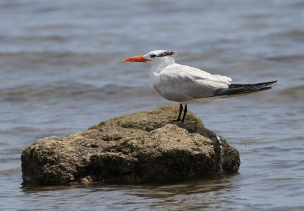 Royal Tern, Bahía de los Angeles