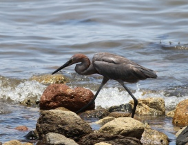 Reddish Egret, Bahía de los Angeles