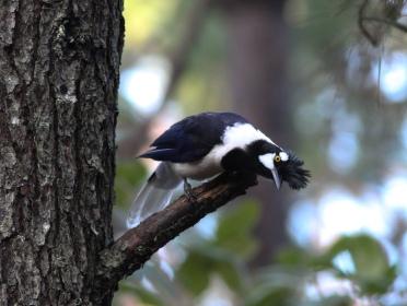 Tufted Jay, Reserva Chara Pinta Sinoloa, Mexico