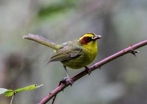 Golden-browed Warbler, Sinoloa, Mexico