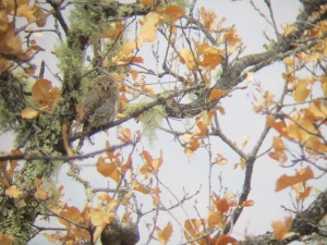 Northern Pygmy-Owl (Cape). Photo taken with a hand-held camera through binoculars.