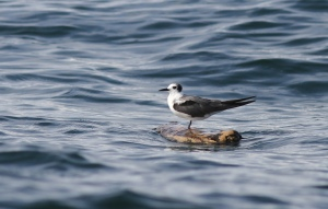 This Black Tern was one of hundreds we saw, some resting on flotsam, some foraging in large flocks.