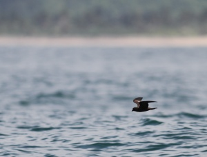 Black Storm-Petrels were one of the most common species we saw.