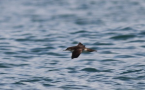 The white saddle bag marks coming up onto the sides just behind the wings, along with the dark swath on the neck, are the two best field marks for a Townsend's Shearwater in among Black-vented Shearwaters.