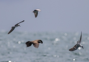 We were pleasantly surprised to find this Brown Noddy foraging with one of the flocks of Black Terns.