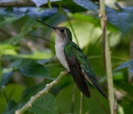 Long-tailed Sabrewing
