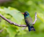 Doubleday's (Broad-billed) Hummingbird