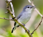 White-lored Gnatcatcher (female)