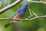 Rose-bellied (Rosita's) Bunting
