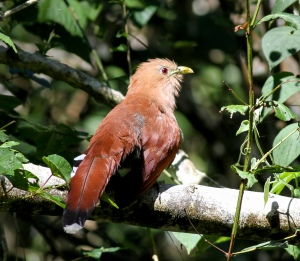 Squirrel Cuckoo, Sumidero Canyon, Chiapas, Mexico
