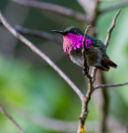 Luckily many hummingbirds are very bold. Our presence just a few meters from this individual did not seem to interfere with his continuous display and song.