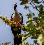 One of a number of Horned Guans that we were fortunate enough to see!