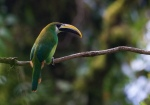The Emerald Toucanet is fairly common throughout neotropic cloud forests, though frequently difficult to actually see. It could arguably be split into as many as 7 distinct species. This is the nominate subspecies.
