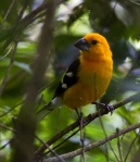 "This is the ""Golden Grosbeak"" form of the Yellow Grosbeak, perhaps better known from West Mexico but more richly colored south of the Isthmus of Tehuantepec."