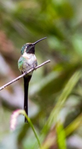 Male Slender Sheartail along the Chiquihuites Road near Volcán Tacaná, Chiapas, Mexico