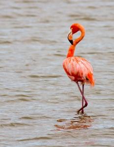 American Flamingo, Celestun, Mexico