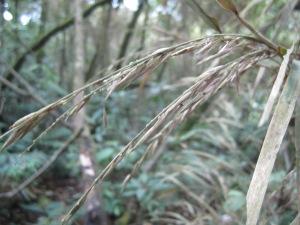 Seeding bamboo