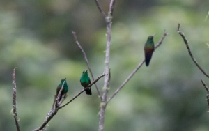 Trio of Blue-tailed Hummingbirds