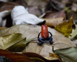Blue Jeans Frog, Cerro Musún, Nicaragua