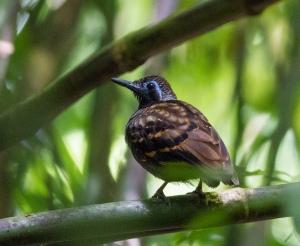 Wing-banded Antbird, Cerro Musún, Nicaragua