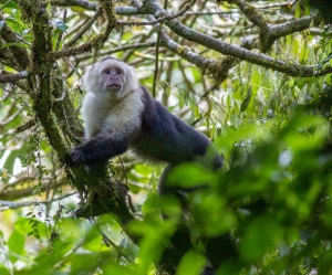 White-faced Capuchin Monkey, Cerro Musún, Nicaragua