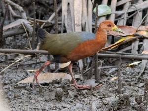 Rufous-necked Wood-Rail, Caldera Mangroves