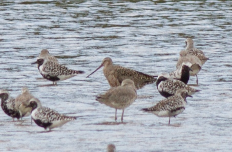 Hudsonian Godwit, Chomes. Not a great picture but a fantastic rarity!
