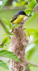 Common Tody-Flycatcher and the nest-zaster in progress.