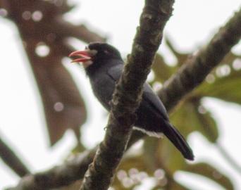 White-fronted Nunbird. Good bird, bad picture!