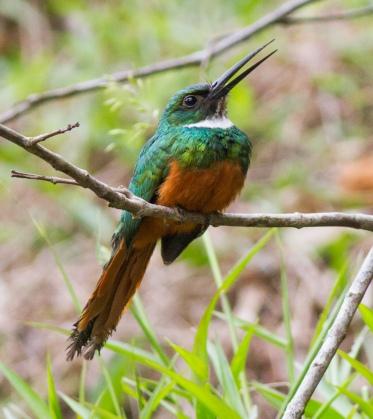 Rufous-tailed Jacamar, Pocosol Station, Children's Eternal Rainforest