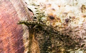 Unknown but very colorful lizard, Laguna Lagartos, Costa Rica