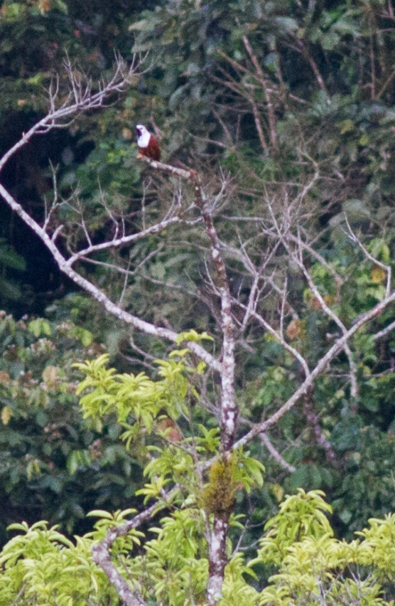 A more typical view of a Three-wattled Bellbird