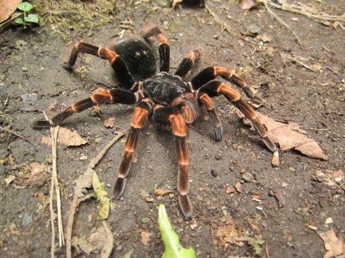 Orange-kneed Tarantula found on the trail at Santa Elena