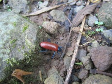 Unknown beetle from Costa Rica