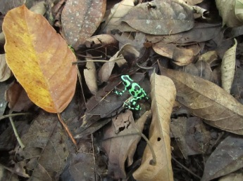 Green and Black Poison Dart Frog at Hitoy Cerere