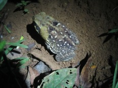 Marine Toad from El Zota, Costa Rica