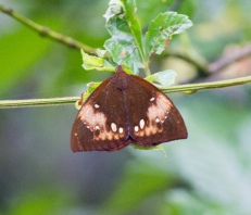 Unknown Butterfly. Photo taken along the road to Manuel Brenes Reserve in Costa Rica
