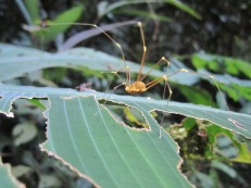 Unknown Spider (not actually a spider) from el Zota reserve in Costa Rica