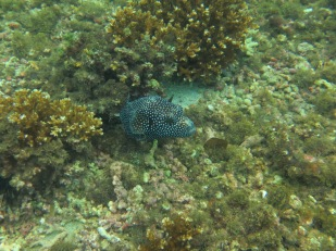 Guineafowl Pufferfish
