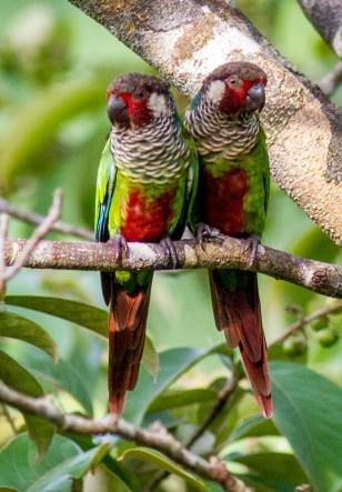 Painted (Azuero) Parakeet