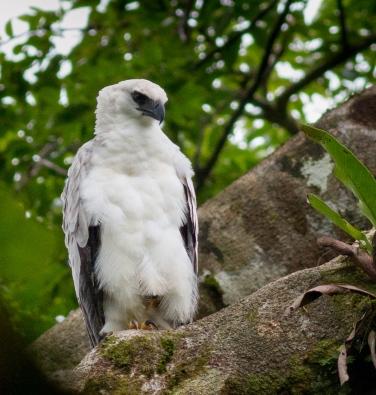 Juvenile Crested Eagle