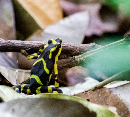 Perhaps a Green and Black Poison Dart Frog. Isaac told us this one was endemic to the region and quite rare