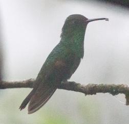Pirre Hummingbird