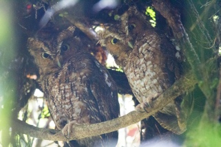 A pair of day roosting Bare-shanked Screech-Owls