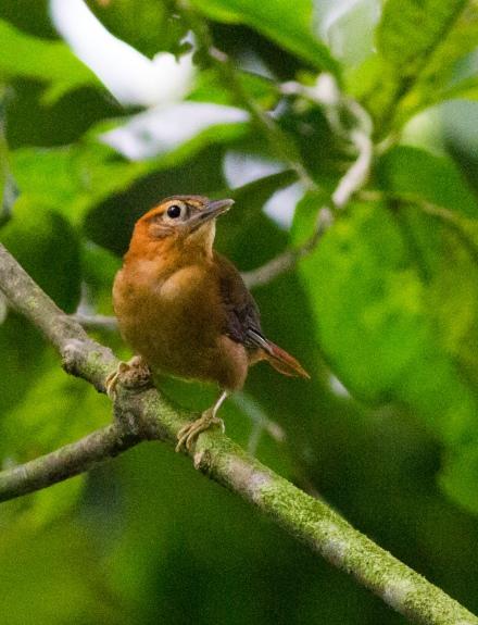 Slaty-winged Foliage-Gleaner