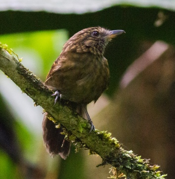 Spiny-faced Antshrike (Xenornis setifrons)