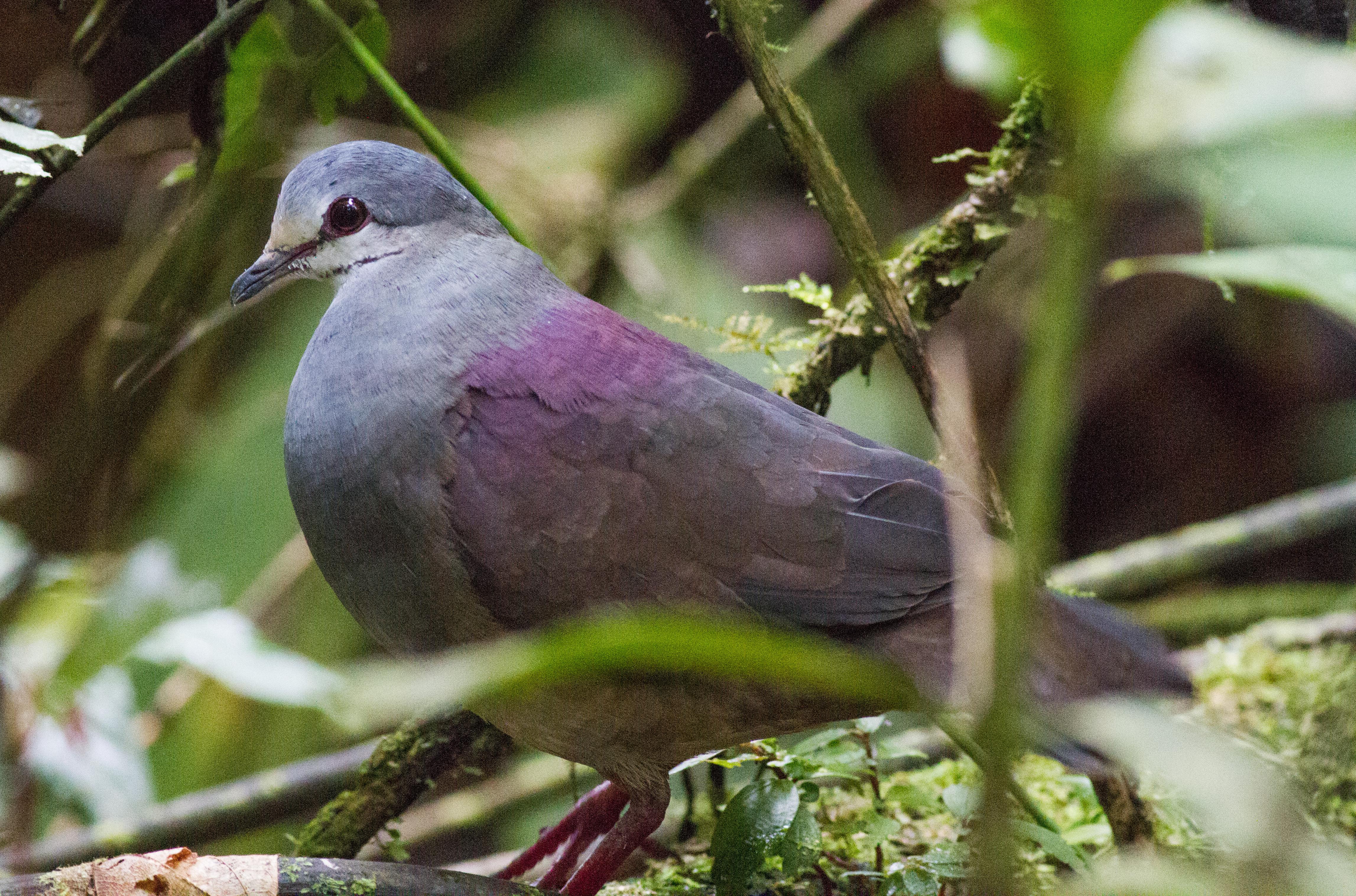 Purplish-backed Quail-Dove