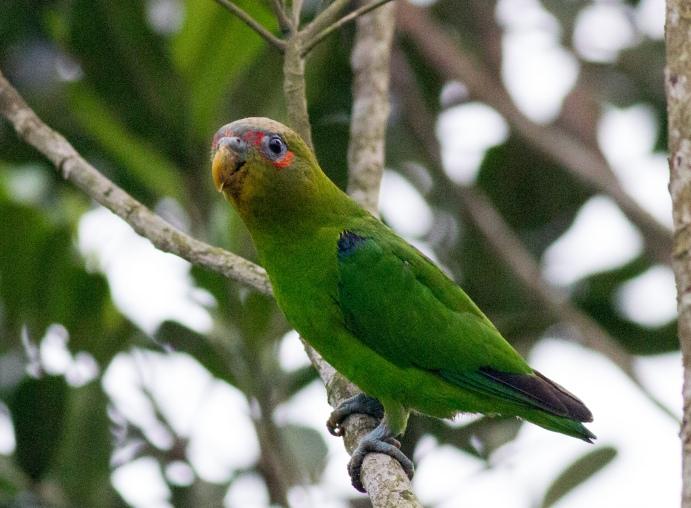 Blue-fronted Parrotlet, Cerro Azul